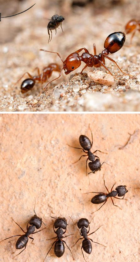 Ants Pest Control Peak Crossing